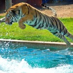 http://outofafricapark.com/experience/tiger-splash/